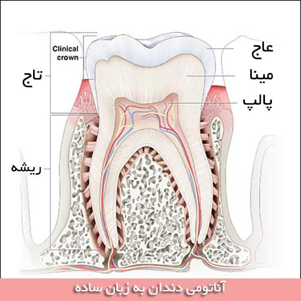 آناتومی دندان به زبان ساده