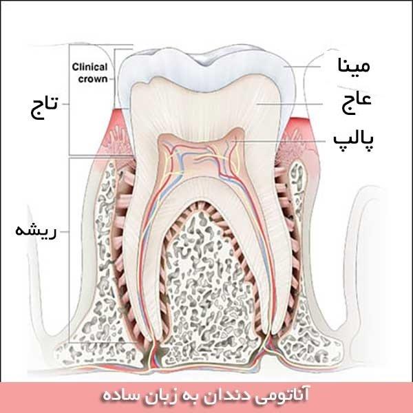 آناتومی دندان بصورت خلاصه
